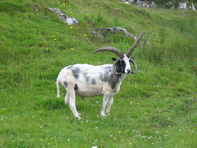 funny looking goat - photo #11
